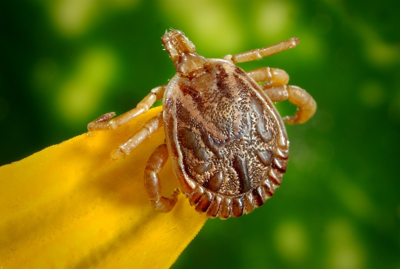 How to deal with a tick bite on a child